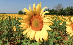 Sunflower Revisited